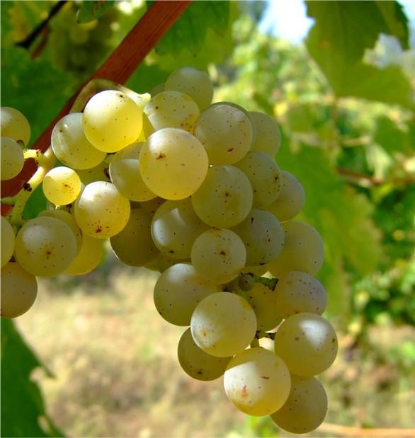 grillo-uva